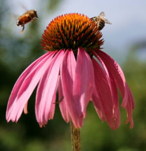 Benefits of Echinacea from Liz Earle Wellbeing