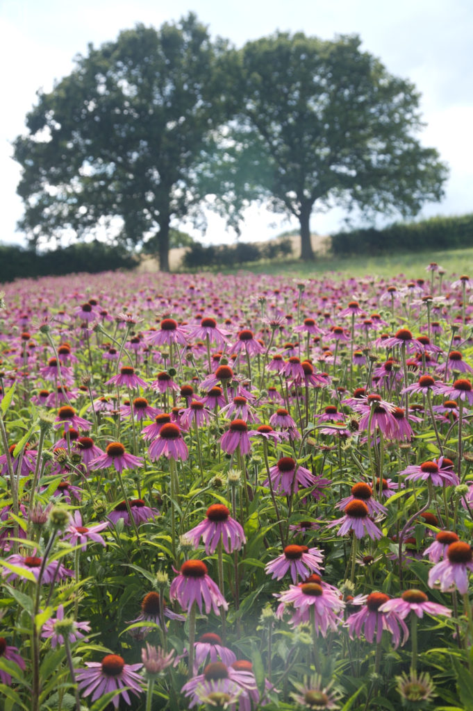 Health and wellbeing benefits of Echinacea from Liz Earle Wellbeing