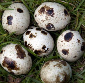 Liz Earle Wellbeing Benefits of Quail Eggs 2