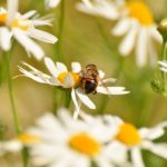 camomile bee Liz Earle Wellbeing