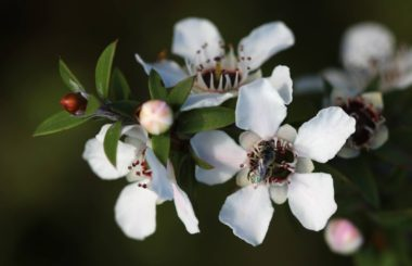 The health and beauty benefits of manuka from Liz Earle Wellbeing credit: Avenue on Wikicommons