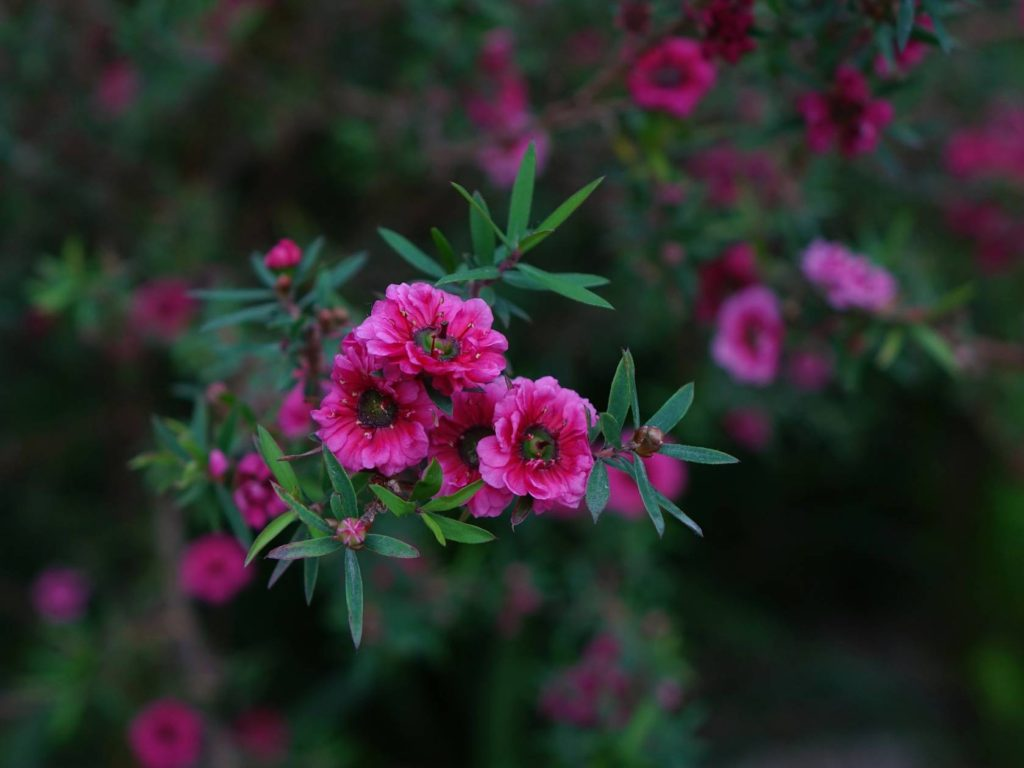 The health and beauty benefits of manuka from Liz Earle Wellbeing