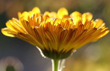 health and beauty benefits of the marigold flower Liz Earle Wellbeing