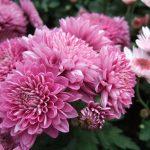 chrysanthemum-721850_1920