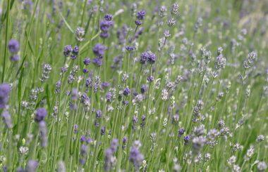lavender liz earle wellbeing
