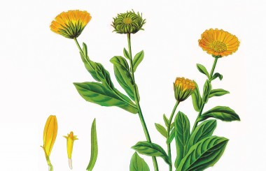 Marigold botanical illustration