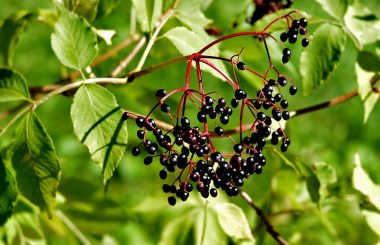 elderberry branch for toner