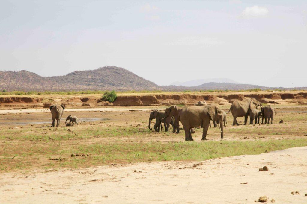 Elephants in the river near Sasaab Lodge