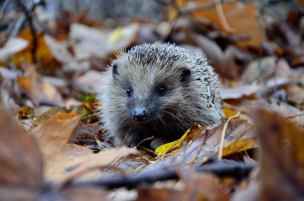 Hedgehog in autumn leaves, liz earle wellbeing